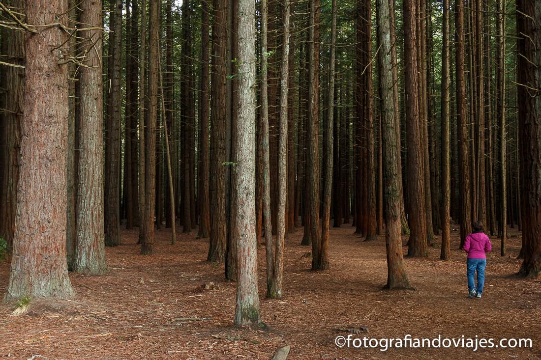 Redwoods Whakarewarewa forest.