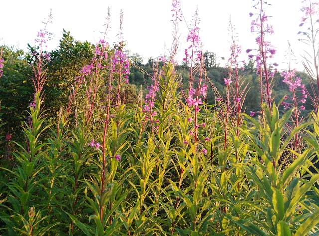 Fire weed flowers