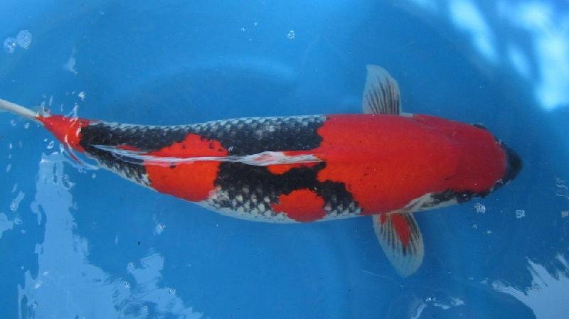 Jenis-Jenis Ikan Koi Goshiki