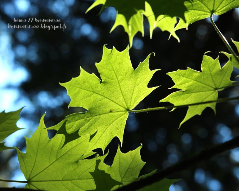 vaahtera vihreä lehti