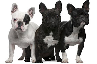 Everything about your French Bulldog
