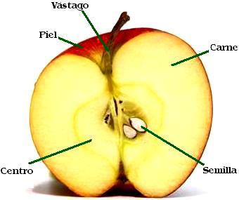 Imagen de las partes de una manzana a colores indicando partes
