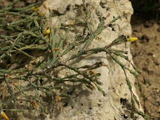 Hatiora salicornioides - Hariota salicornioides - Rhipsalis salicornioides