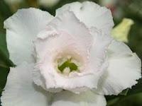 Keuntungan Memelihara  Bunga Adenium