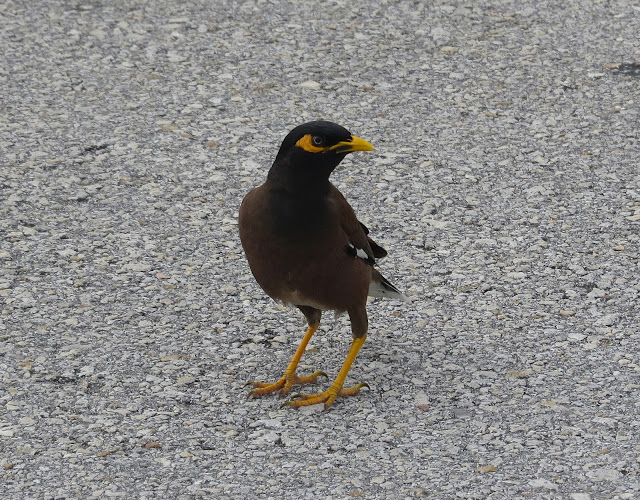 Common Myna - Florida City, Florida