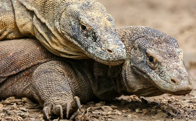 Xvlor.com Watching Komodo dragon reproduction like watching life hard