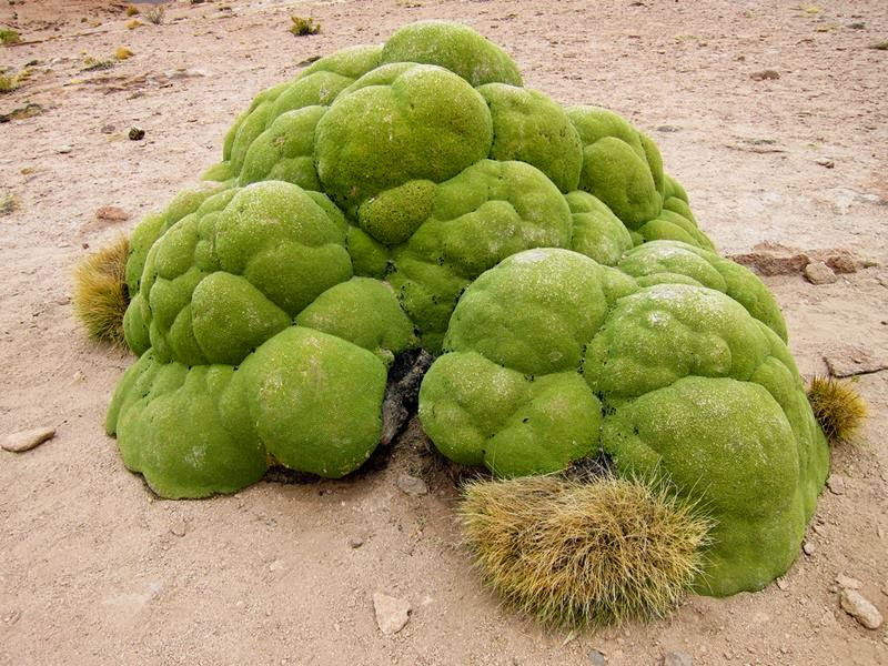 green blobs, llareta, yareta, azorella compacta, plants in andes mountains, andes mountains plants, yareta plant, llareta plant, yareta plant, cushion plants, azorella