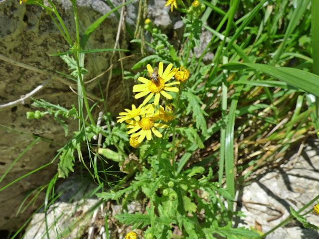 Cruciulita, Senecio Rupester, flori in Valea Horoabei, Bucegi