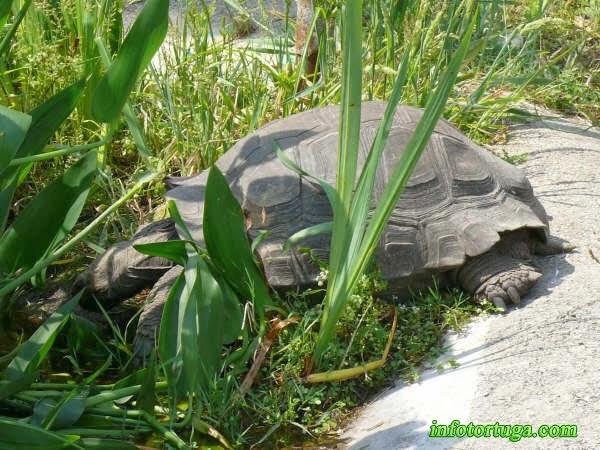 Tortuga gigante asiática (Manouria emys)