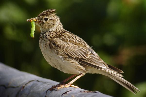 the lark bird