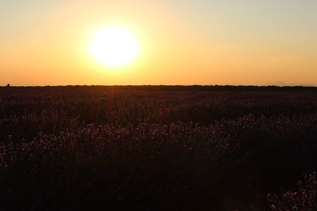 Puesta de sol en los campos de lavanda. Campos de lavanda  de Brihuega. La provenza española