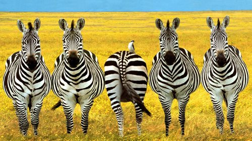 Different-Zebra.jpg