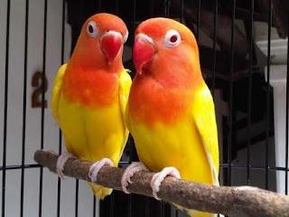 bisnis ternak lovebird