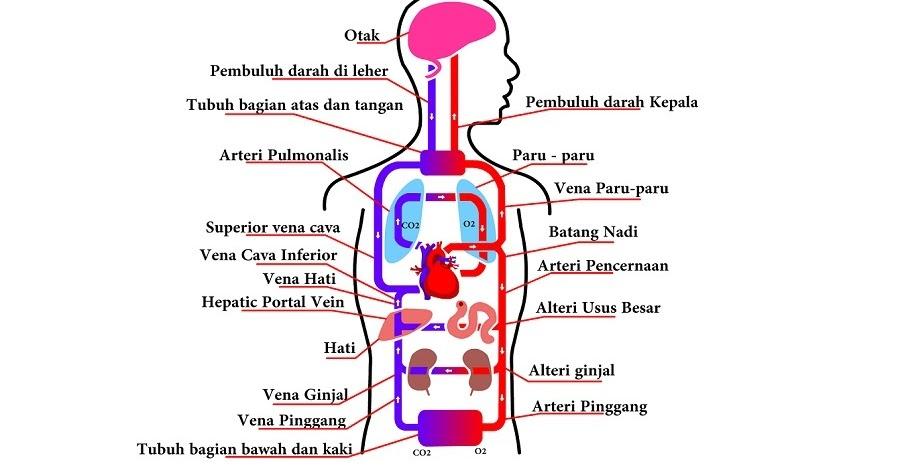 Sistem Peredaran Darah Manusia Perpustakaan Ilmu Pengetahuan