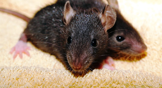 Cara Mengusir Tikus Dengan Mudah Dan Aman