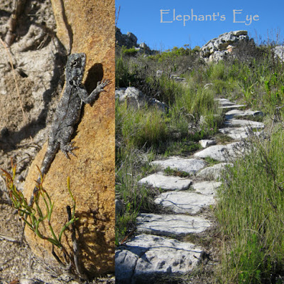 Rock agama along the Silvermine East path