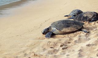 Refuerza México protección de tortuga marina en Veracruz