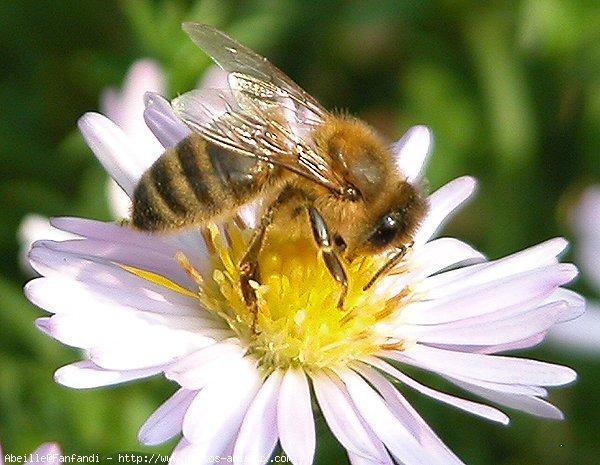 [Image: Honeybee%2Bon%2Baster.jpg]
