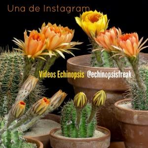 Una cuenta de Instagram: videos Echinopsis Freak