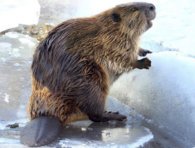 Beaver - Animals That Start With B