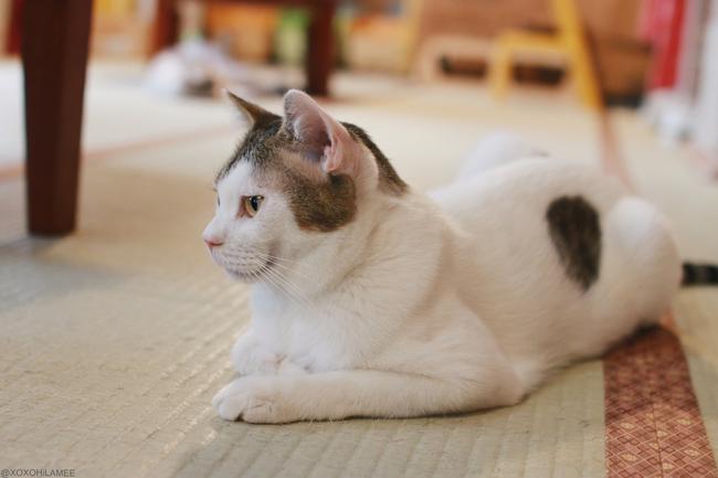 保護猫カフェ、ネコリパブリック東京、お茶の水 いっちゃん キジ白