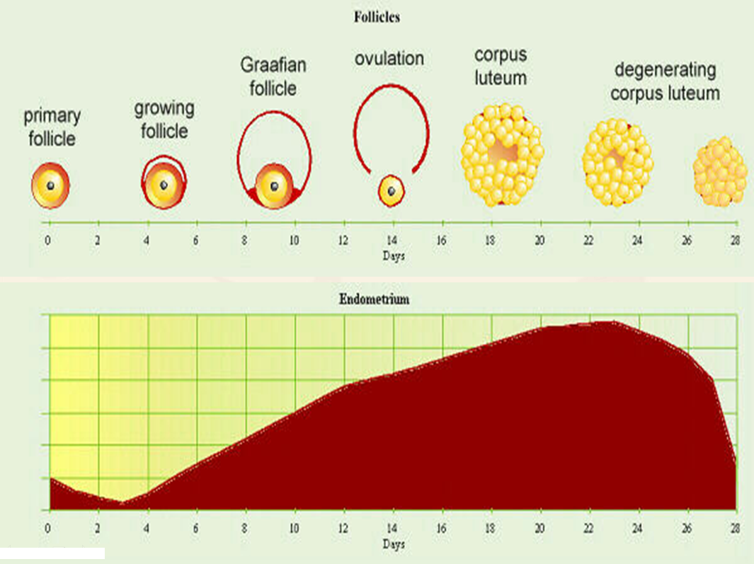 counting menstral cycle