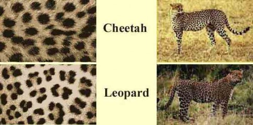 ecfed16a88 I use to think Cheetah and Leopard were interchangeable terms as it  pertained to animal print -- even though I am intelligent enough to realize  that they ...
