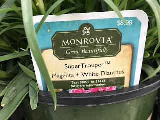 SuperTrouper Magenta + White Dianthus