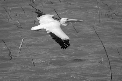 American White Pelican, Hagerman NWR