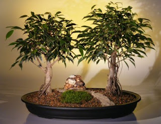 Grow Ficus Trees