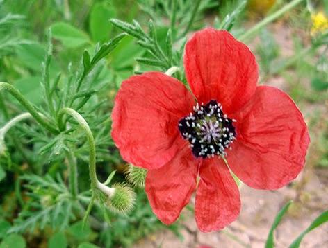Amapola macho (Papaver argemone) flor silvestre roja