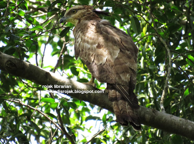 Oriental Honey Buzzard in Bidadari