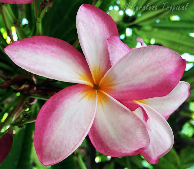 Flor de una especie de Plumeria, Rosa de Mayo