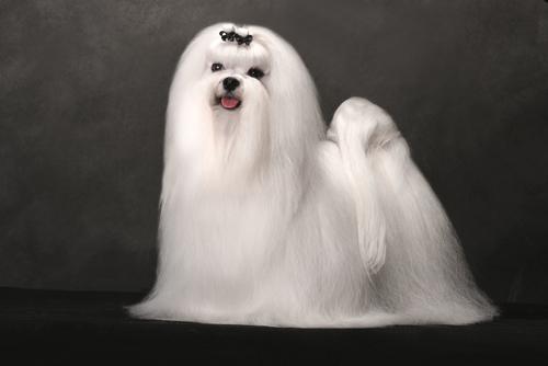 Maltese-dog-long-silky-coat