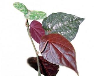 Image Pengobatan keputiohan menggunakan daun sirih merah