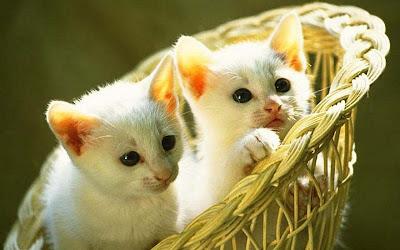 cuty-white-cat-kittens