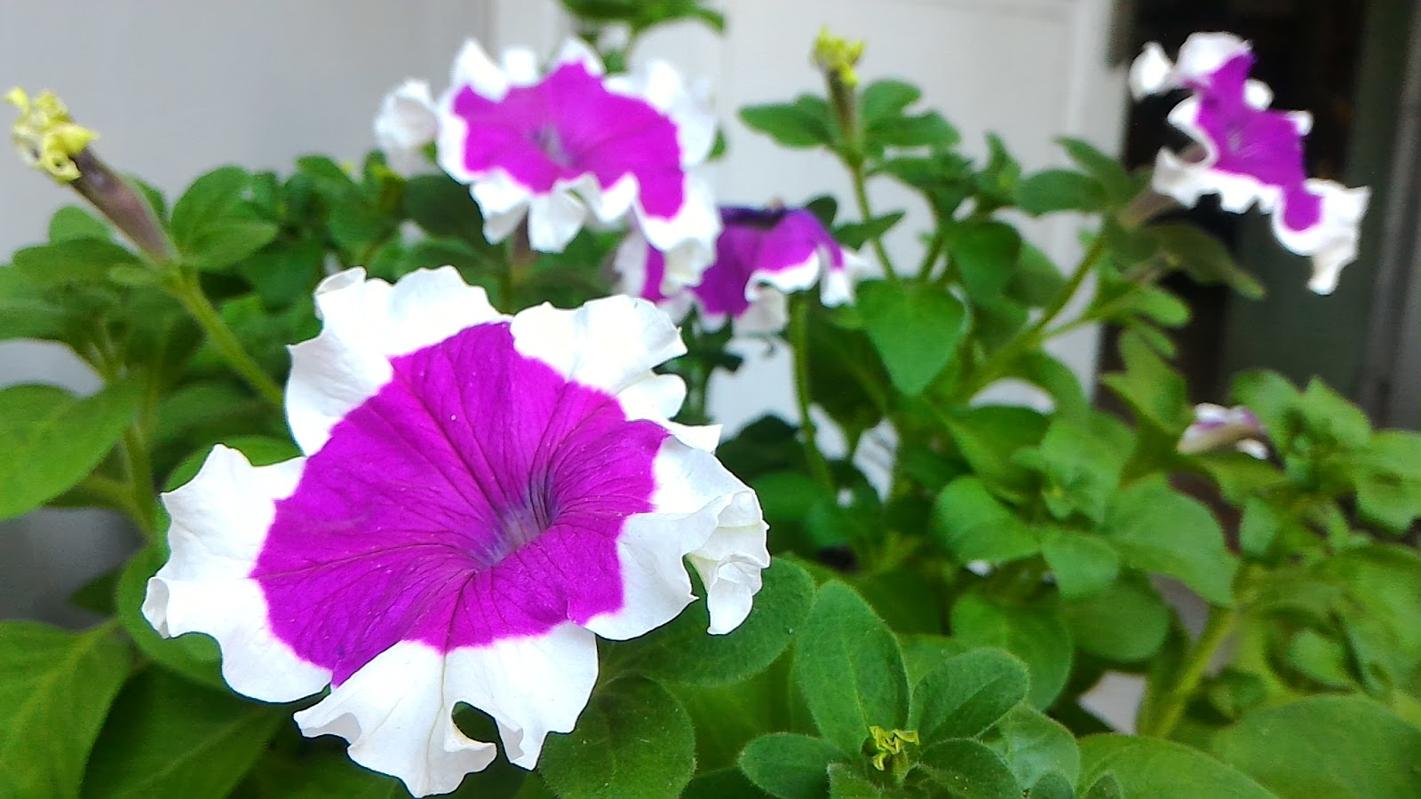 Menanam Bunga Sistem Hidroponik Untuk Pemula Dunia Iwok