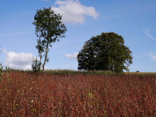 un champ de blé noir appelé aussi sarrasin en ille et vilaine 35 musardise