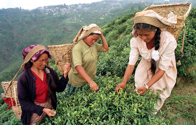 darjeeling-youths-sing-about-plight-of-tea-gardens-workers