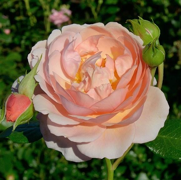 Elizabeth Stuart сорт розы Массад фото
