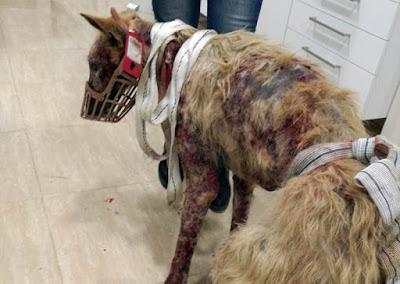 Nuevo SOS por maltrato animal, Daiko un galgo de Jaén