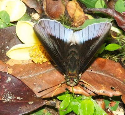 Horsfield's Baron (Tanaecia iapis)