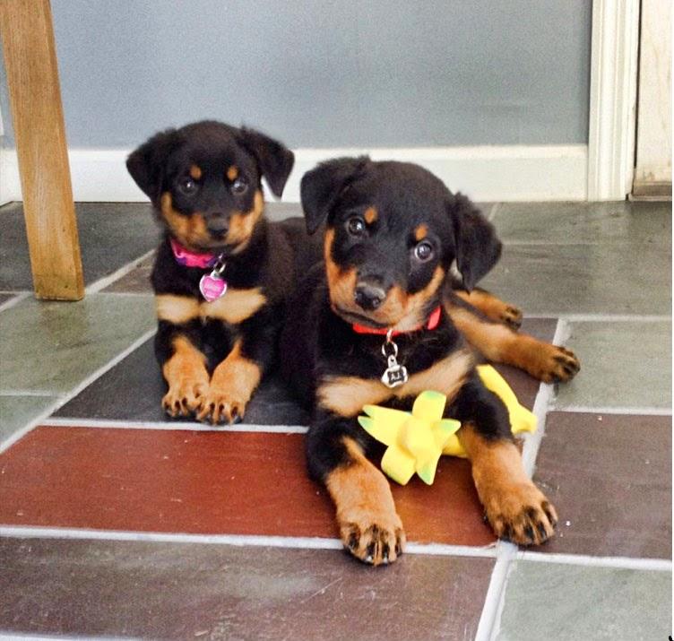 Cute Double Trouble Rotties