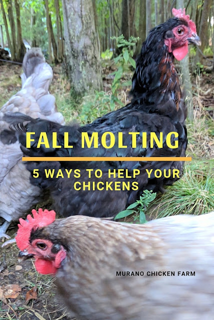 Chickens molting in fall