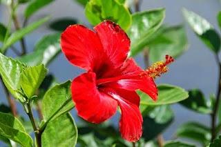 ciri ciri bunga sepatu,bunga sepatu,bagian-bagian bunga sepatu,klasifikasi bunga sepatu,morfologi bunga sepatu,nama latin bunga sepatu,struktur bunga sepatu,kandungan bunga sepatu,