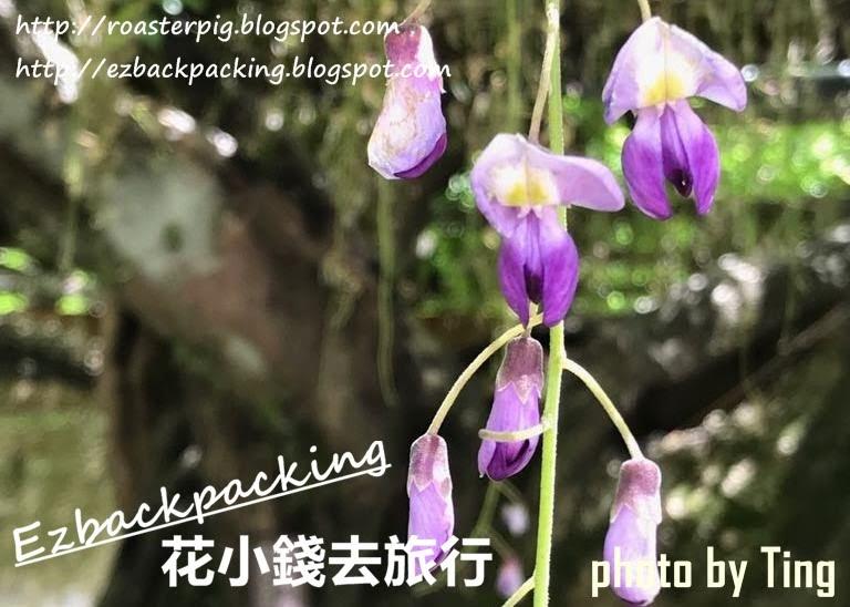 2019日本紫藤開花情報+紫藤祭情報2019