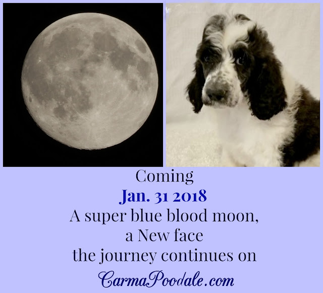 photo of Super blue blood moon and poodle puppy on carma poodale