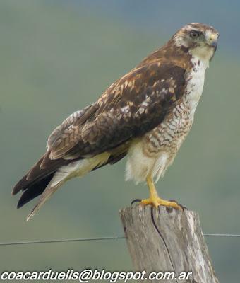 "alt=""aguilucho comun ,Buteo polyosoma juvenil,aves de Mendoza"""