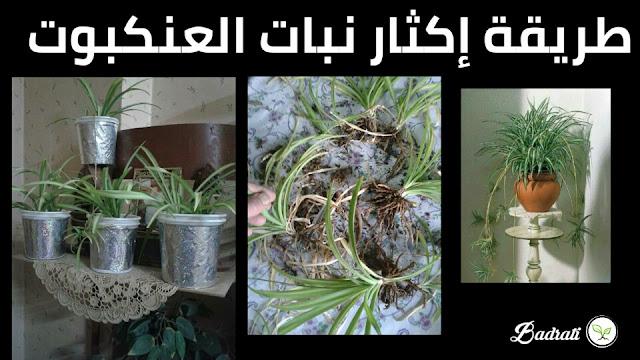 العناية بنبات الفلانجيوم