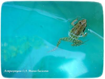 лягушка плывет